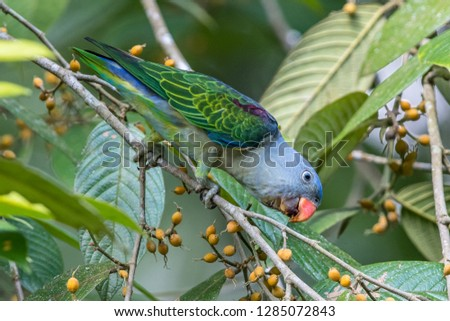 Blue-Rumped Parrot standing on the branch eating fruits