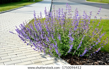 blue sage plants along the sidewalk made interlocking concrete tiles paving crossing with asphalt street