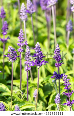 Blue Salvia is plant in the mint family.