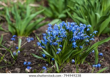 Blue scilla siberica or siberian squill flowers first spring blue scilla siberica or siberian squill flowers first spring flowers mightylinksfo