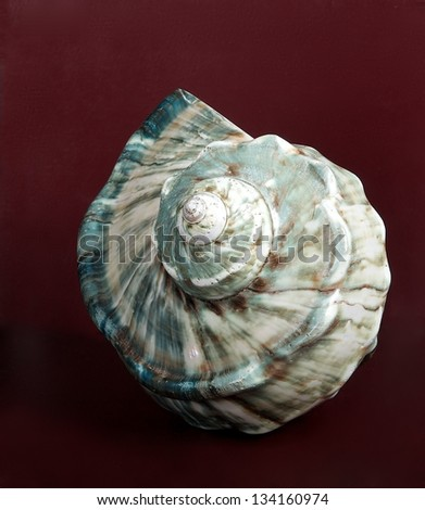 Blue sea shell, Ocean marine seashell close up isolated in nice red background,marine seashell decorative object in red background, wild seashell, seashell collection, shell - stock photo