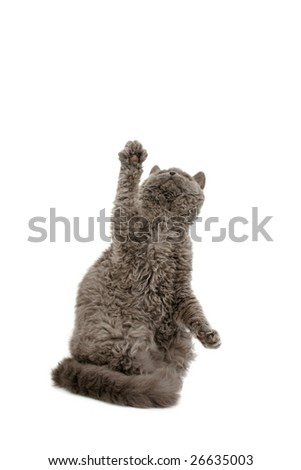 Blue Selkirk Rex reaching up on white background