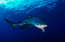 Blue shark in the Atlantic ocean off the Azores