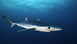 Blue shark swimming in the blue. Image was taken during a baited shark dive offshore, out past Western Cape in South Africa. .
