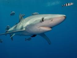 blue sharks pico