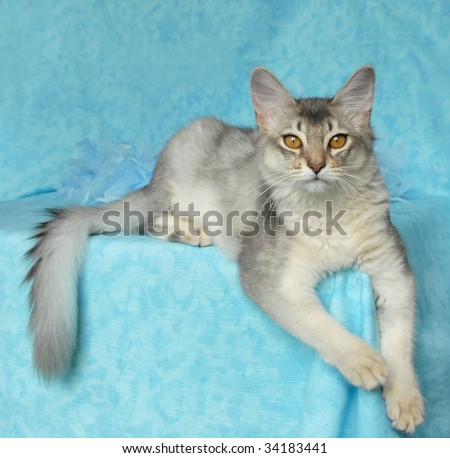 blue silver somali cat