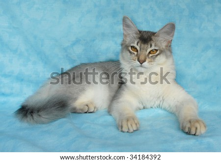 blue silver somali cat female