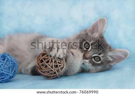 Blue Silver Somali kitten playing with wicker balls
