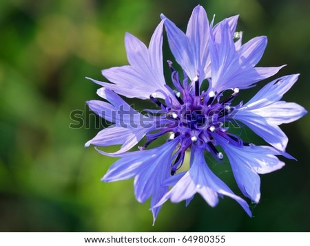 blue single cornflower on green cereal's background