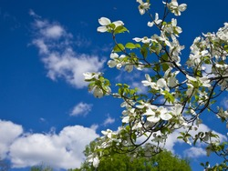 Blue Skies Ahead. Beautiful blooming Dogwood flowers frame the side of partially cloudy vivid blue Spring sky. Copy Space.