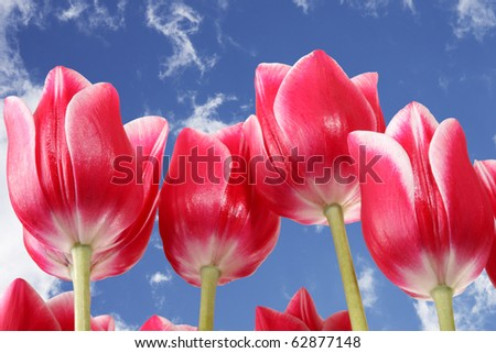 Blue sky and beautiful pink tulips