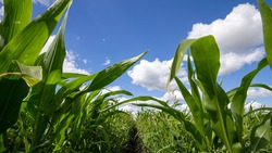 Blue Sky and white clouds above green Field corn, panoramic view. Beautiful scenic dynamic Landscape agricultural land. Beauty of nature. Agriculture. Cornfield. Growing vegetables on the farm.