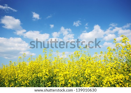 Blue sky and yellow flowers field. Summer landscape