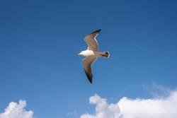 Blue sky background and bird(gull)