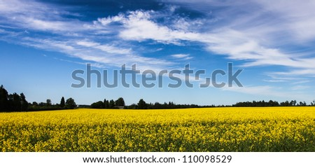 Blue sky over yellow farmland field