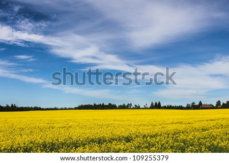 Blue sky over yellow field