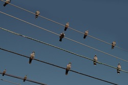 blue sky with electricity wires with many pigeons sitting on the wires. five electricity wires with twelve pigeons, close horizontal framing,