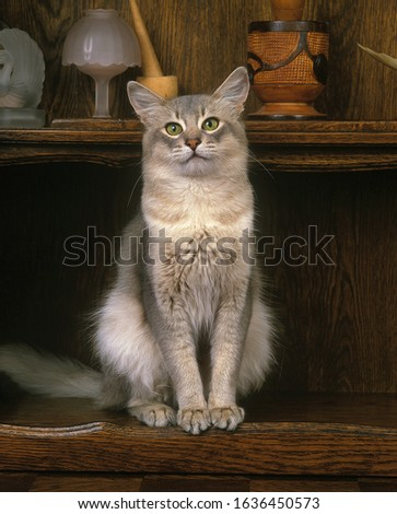 BLUE SOMALI DOMESTIC CAT, ADULT SITTING ON SIDEBOARD  Zdjęcia stock ©