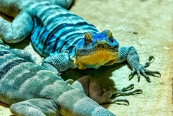 Blue Spiny Lizard  Sceloporus Cyanogenys