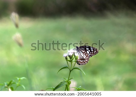blue spotted milkweed butterfly or danainae feeding on the flower plants in natural. Stock photo ©