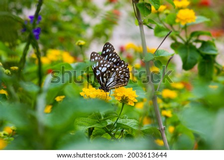 blue spotted milkweed butterfly or danainae or milkweed butterfly feeding on the flower plants in natural   environment, macro shots, butterfly garden. Stock photo ©