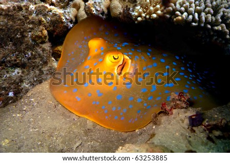 Blue Spotted Ray, Koh Tao island, Thailand