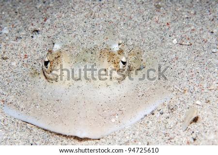 Blue-spotted Ribbontail Ray, Taeniura lymma