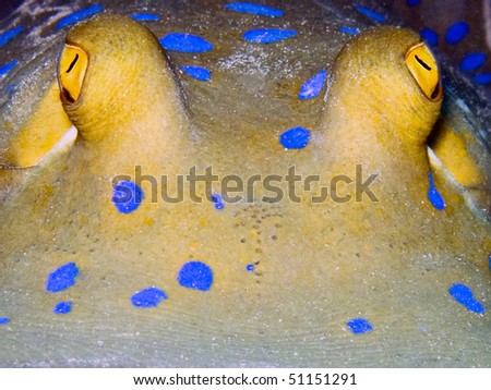 Blue spotted ribbontail ray ( Taeniura lymma) close-up underwater picture