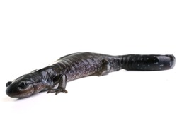 Blue Spotted Salamander on white backround