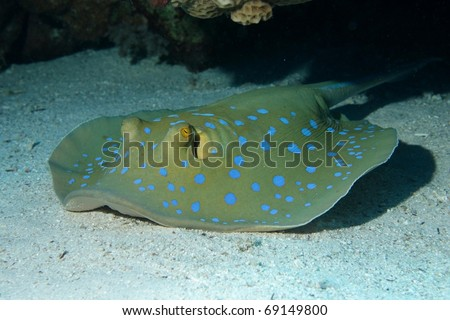 Blue-spotted sting ray (Taeniura lymma) in Egypt. - stock photo