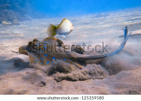 Blue Spotted stingray.Marine Life in the Red Sea