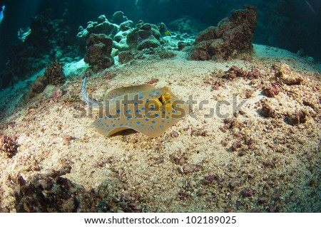 Blue-spotted stingray on the sea bed in an underwater tropical cave
