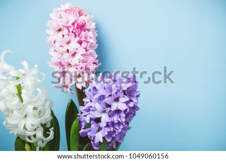 Blue Spring Floral Background. Hyacinth flowers  #1049060156