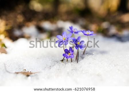 Blue spring snowdrops on the snow, Hepatica nobilis