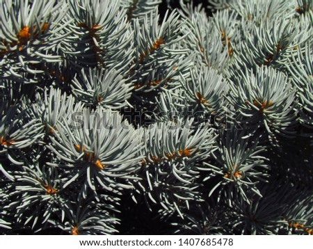 Blue spruce, also named white spruce, Colorado spruce or Colorado blue spruce, close-up of branches with needles and buds, #1407685478