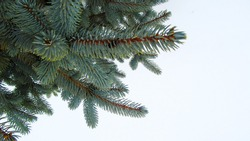 blue spruce. branch on a white background.
