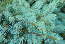 Blue spruce branches on a textured  background. Blue spruce, green spruce, white spruce, Colorado spruce or Colorado blue spruce, with the scientific name Picea pungens, is a species of spruce tree.