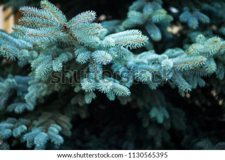 Blue spruce, green spruce, blue spruce, with the scientific name Picea pungens, is a species of spruce tree. Selective fokus. #1130565395