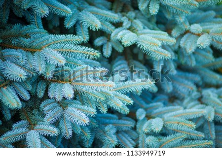 Blue spruce, green spruce, blue spruce, with the scientific name Picea pungens, is a species of spruce tree. Selective focus. #1133949719