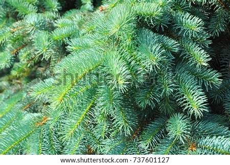 Blue spruce, green spruce, Colorado blue spruce, with the scientific name Picea pungens, is a species of spruce tree.