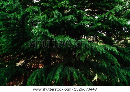 Blue spruce, green spruce for background #1326693449