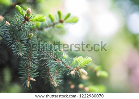 Blue spruce, green spruce, white , Colorado spruce, or Colorado blue spruce, Picea pungens branches with young needles. Natural background with plants #1222980070