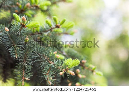 Blue spruce, green spruce, white , Colorado spruce, or Colorado blue spruce, Picea pungens branches with young needles. Natural background with plants #1224725461