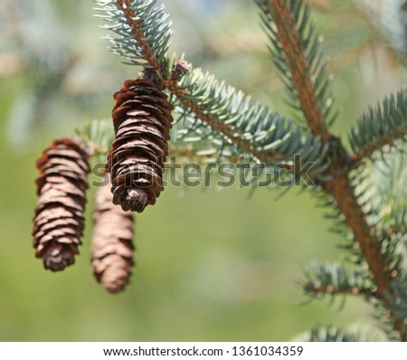blue spruce, green spruce with cones #1361034359