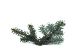 Blue spruce on a white background. Christmas background. Christmas background.