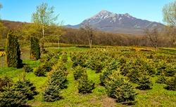 Blue spruce seedlings in Perkalsky Dendrological nursery (foot of Mashuk),Caucasus,Russia.