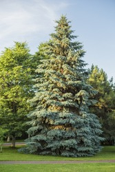 blue spruce tree (Picea pungens)