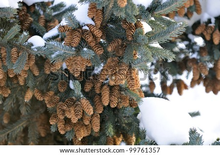 Blue Spruce Tree with Cones and Snow