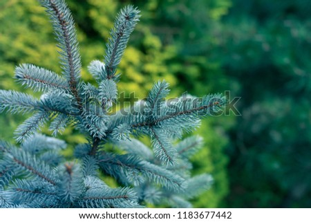 Blue Spruce, White Spruce, Colorado Spruce, Picea Pungens Branches Close Up #1183677442
