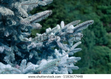 Blue Spruce, White Spruce, Colorado Spruce, Picea Pungens Branches Close Up #1183677448